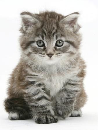 Maine Coon Kitten, Goliath by Mark Taylor