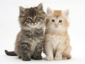 Maine Coon Kittens, 7 Weeks, Showing Different Colours by Mark Taylor