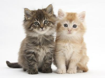 Maine Coon Kittens, 7 Weeks, Showing Different Colours