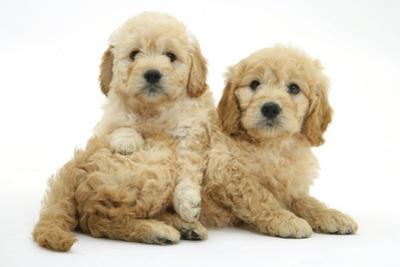 Miniature Goldendoodle Puppies (Golden Retriever X Miniature Poodle Cross) Aged 7 Weeks, Lying by Mark Taylor