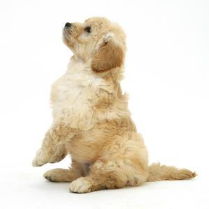 Miniature Goldendoodle Puppy (Golden Retriever X Miniature Poodle Cross) Sitting Up, Begging by Mark Taylor