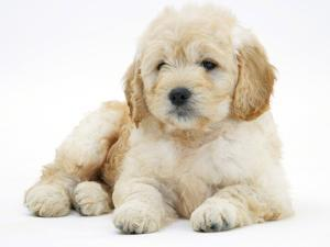 Miniature Goldendoodle Puppy (Golden Retriever X Poodle Cross) 7 Weeks, Lying Down by Mark Taylor