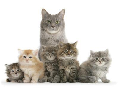 Mother Maine Coon Cat, Serafin, and Five Kittens, 7 Weeks by Mark Taylor