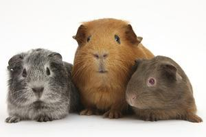 Mother Red Guinea Pig with Silver and Chocolate Babies in Line by Mark Taylor