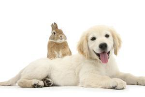 Netherland Cross Rabbit, Looking over the Back of Golden Retriever Dog Puppy, Oscar, 3 Months by Mark Taylor
