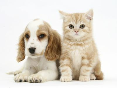 Orange Roan Cocker Spaniel Puppy, Blossom, with Ginger Kitten by Mark Taylor