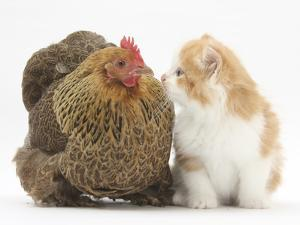 Partridge Pekin Bantam with Ginger-And-White Kitten by Mark Taylor