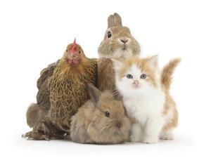 Partridge Pekin Bantam with Kitten, Sandy Netherland Dwarf-Cross and Baby Lionhead-Cross Rabbit by Mark Taylor