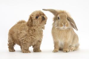 Peekapoo (Pekingese X Poodle) Puppy and Sandy Lop Rabbit by Mark Taylor