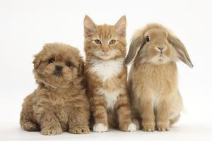 Peekapoo (Pekingese X Poodle) Puppy, Ginger Kitten and Sandy Lop Rabbit, Sitting Together by Mark Taylor
