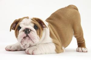 Playful Bulldog Puppy, 8 Weeks, in Play-Bow by Mark Taylor