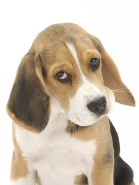 Portrait of a Beagle Puppy by Mark Taylor