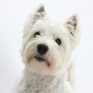 Portrait of a West Highland White Terrier by Mark Taylor