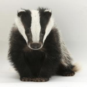 Portrait of a Young Badger (Meles Meles) by Mark Taylor