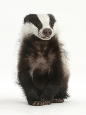 Portrait of a Young Badger Sitting (Meles Meles) by Mark Taylor