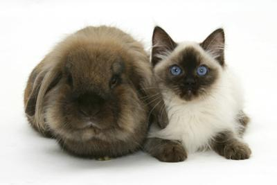 Ragdoll Kitten, 12 Weeks, with Lionhead Rabbit by Mark Taylor