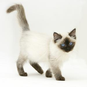 Ragdoll Kitten with Deep Blue Eyes, 12 Weeks by Mark Taylor