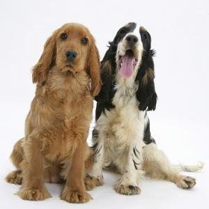 Red - Golden and Tricolour English Cocker Spaniels by Mark Taylor