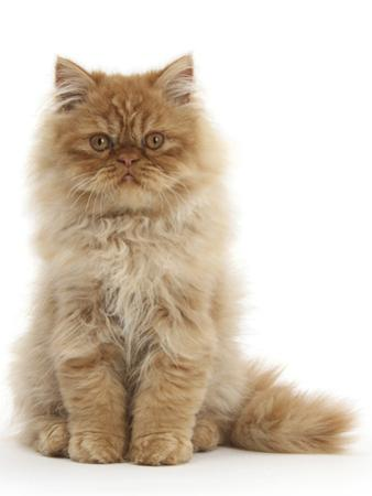 Red Persian Male Kitten, 15 Weeks, Sitting by Mark Taylor