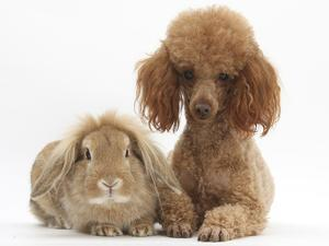 Red Toy Poodle Dog, with Sandy Lop Rabbit by Mark Taylor