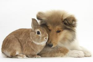 Rough Collie Puppy, 14 Weeks, with Sandy Netherland Dwarf-Cross Rabbit by Mark Taylor