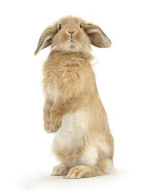 Sandy Lop Rabbit Sitting Up on its Haunches by Mark Taylor