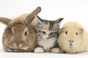 Sandy Rabbit, Tabby Tortoiseshell Maine Coon-Cross Kitten, 7 Weeks, and Yellow Guinea Pig by Mark Taylor