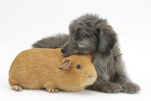 Shetland Sheepdog X Poodle Puppy, 7 Weeks, with Guinea Pig by Mark Taylor