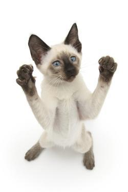 Siamese Kitten, 10 Weeks, Reaching Up by Mark Taylor