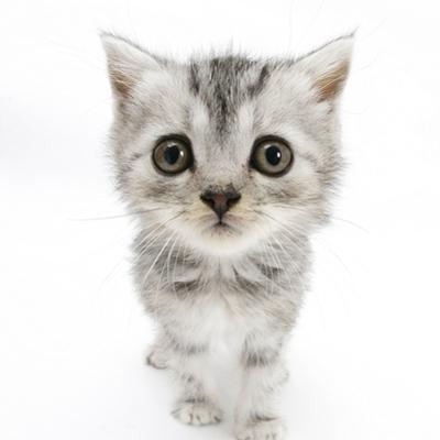 Silver Tabby Kitten with Big Eyes by Mark Taylor
