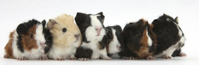 Six Young Guinea Pigs in a Row by Mark Taylor