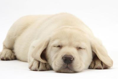 Sleeping Yellow Labrador Retriever Pup, 8 Weeks by Mark Taylor