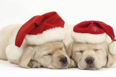 Sleeping Yellow Labrador Retriever Puppies, 8 Weeks, Wearing Father Christmas Hats by Mark Taylor