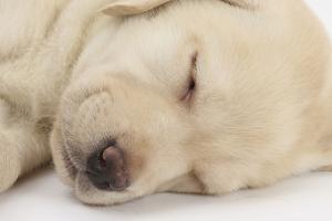 Sleeping Yellow Labrador Retriever Puppy, Sleeping Head Closeup, 8 Weeks by Mark Taylor