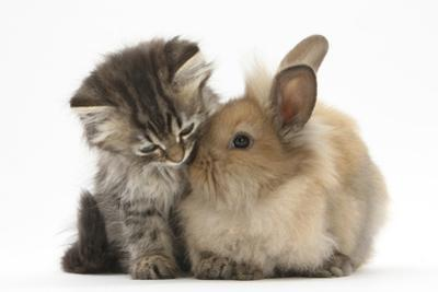 Tabby Kitten, 10 Weeks, and Young Rabbit by Mark Taylor