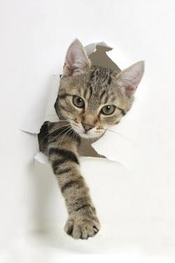 Tabby Kitten, Stanley, 4 Months Old, Breaking Through Paper by Mark Taylor