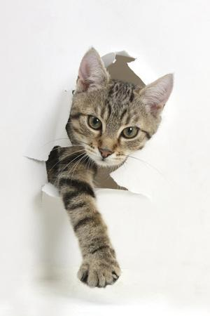 Tabby Kitten, Stanley, 4 Months Old, Breaking Through Paper