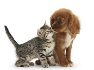 Tabby Kitten, Stanley, 8 Weeks, Nose to Nose with Ruby Cavalier King Charles Spaniel Bitch, Star by Mark Taylor