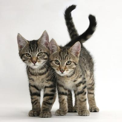 Tabby Kittens, Stanley and Fosset, 12 Weeks Old, Walking Together