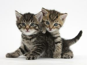 Tabby Kittens, Stanley and Fosset, 6 Weeks by Mark Taylor