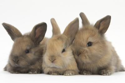 Three Baby Rabbits in Line by Mark Taylor