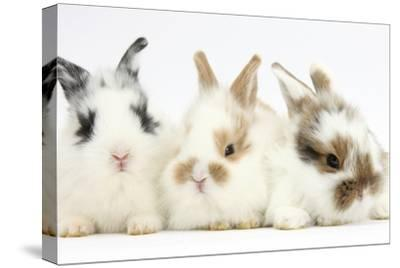 Three Cute Baby Bunnies Sitting Together by Mark Taylor