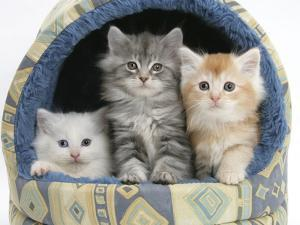 Three Maine Coon Kittens, 8 Weeks, in an Igloo Cat Bed by Mark Taylor