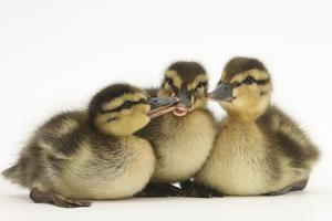 Three Mallard (Anas Platyrhynchos) Ducklings, 1 Week Old, Captive by Mark Taylor