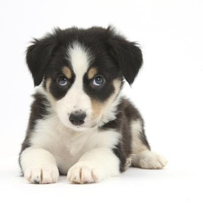 Tricolour Border Collie Puppy by Mark Taylor