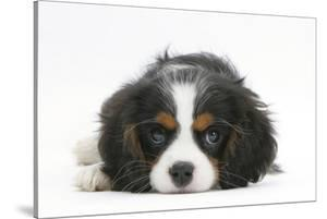 Tricolour Cavalier King Charles Spaniel Puppy, Lying with Chin on Floor by Mark Taylor