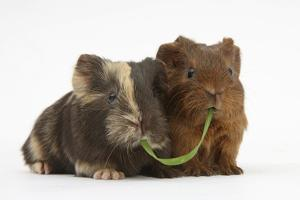 Two Baby Guinea Pigs Sharing a Piece of Grass by Mark Taylor