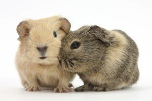 Two Baby Guinea Pigs by Mark Taylor