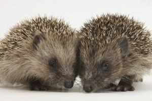 Two Baby Hedgehogs (Erinaceus Europaeus) by Mark Taylor