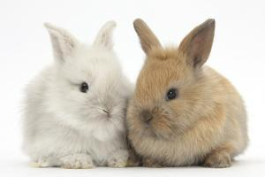 Two Baby Lionhead Cross Lop Bunnies by Mark Taylor